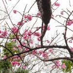 日本一早い桜まつり 本部八重岳桜まつり
